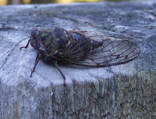 The Bug that i killed just now! a HUGE BLACK CICADA!!!!! *Shudders* Cic_ed