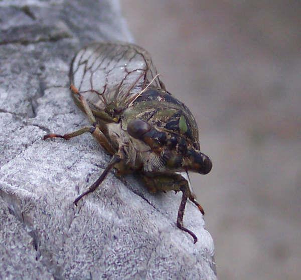 The Bug that i killed just now! a HUGE BLACK CICADA!!!!! *Shudders* Cid_ed2